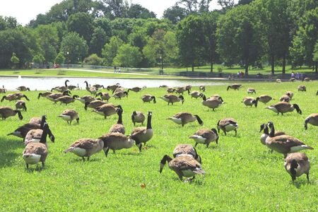 numerous: The ducks