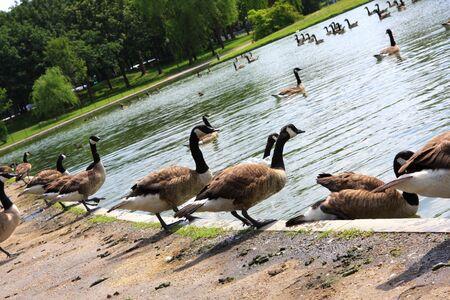 agachado: Los patos est�n saltando en el agua Foto de archivo