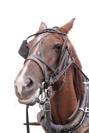 blinder: Horse Stock Photo