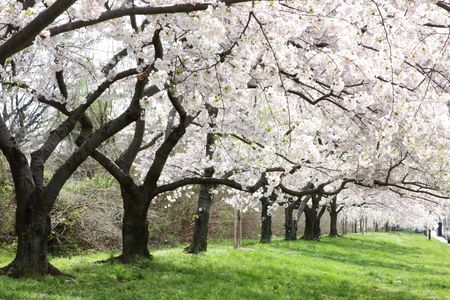 washington landscape: Cherry blossom
