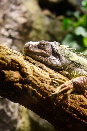 Iguana on the tree photo