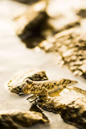 mudskipper: Mudskipper Stock Photo