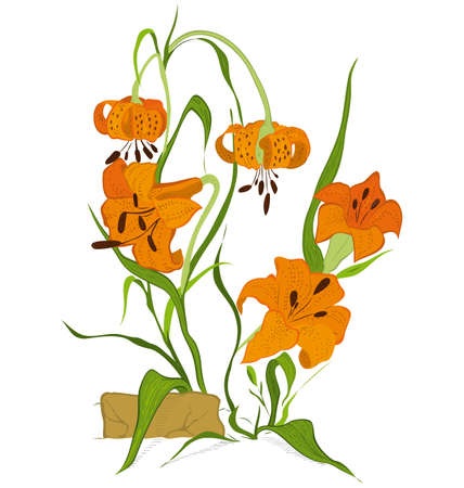 tiger lily: Hand drawn illustration of tiger lily flower isolated on white