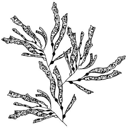 Kelp sea weed isolated on white