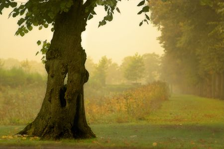 Hollow tree in the mist