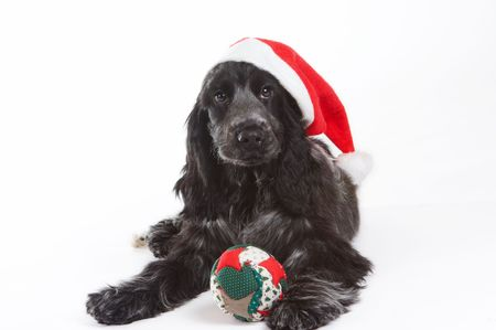 Four month old cocker spaniel puppy dog wearing a christmas hat