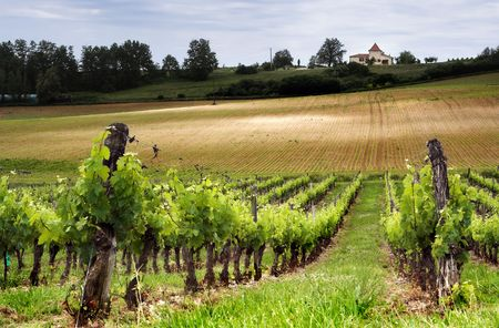 French vineyard along the Garonne river photo