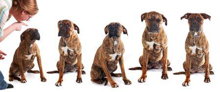 berisping: Verschillende foto's van de hond dezelfde gezichten te trekken na een reprimande van zijn baas Stockfoto
