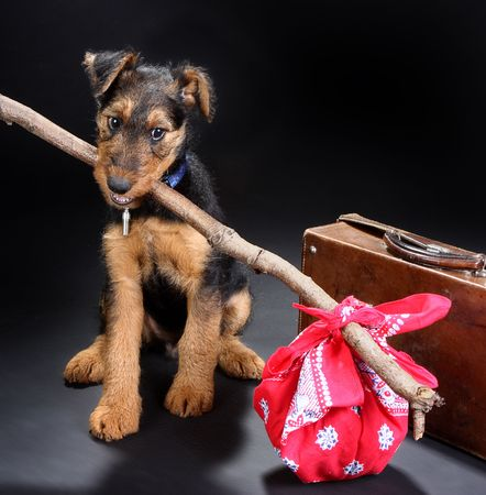 8 weeks old little airedale terrier puppy dog ready for travelling Stock Photo