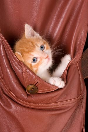 Six weeks old kitten in the pocket of a leather jacket Stock Photo - 3727704