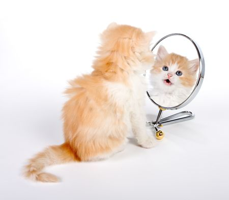 reflection in mirror: Six weeks old kitten looking in a mirror Stock Photo