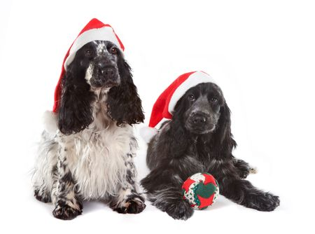 Two cocker spaniel dogs with christmas decorations Stock Photo