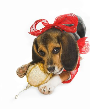 robbon: Beagle puppy dog celebrating christmas in its own way