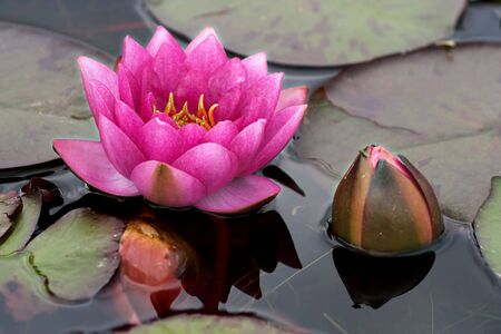 waterlilly: Pink waterlily and new bud Stock Photo