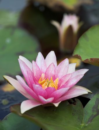 Pink waterlily, and a blurred flower bud in the background Stock Photo - 3744432