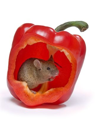 Little grey mouse hiding in a hot red pepper