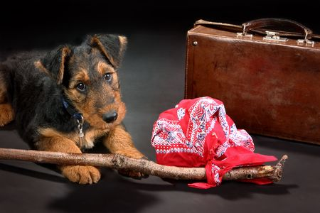 vagabond: 8 weeks old little Airedale terrier puppy dog with a knapsack and a suitcase, like a vagabond