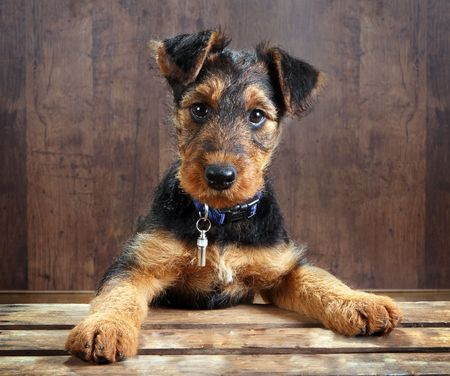 airedale terrier dog: 8 weeks old little airedale terrier puppy dog with its paws on a crate Stock Photo