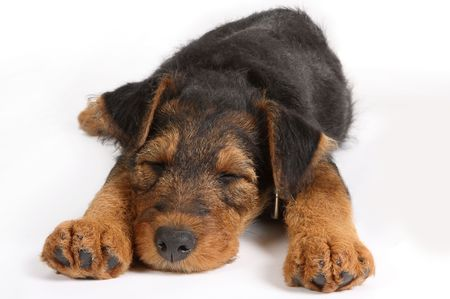8 weeks old little Airedale terrier puppy sleeping