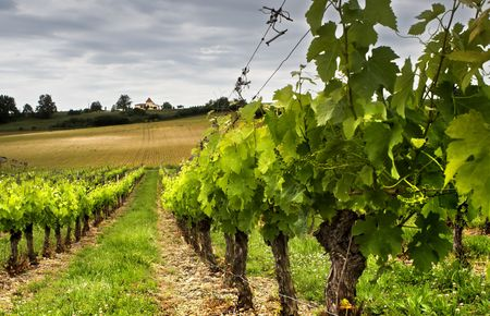 Small grapes growing in a French vineyard photo