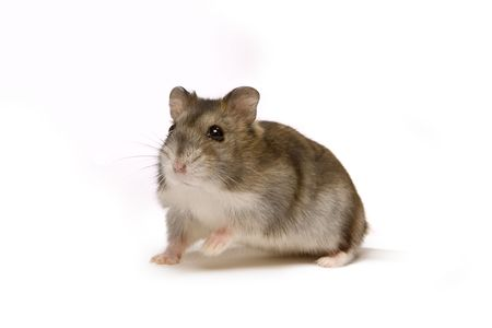 hamsters: Little brown hamster looking cute on a white background