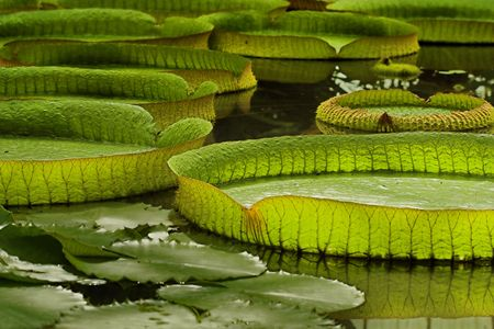 amazon: Victoria Regia, the worlds largest leaves, of Amazonian water lilies
