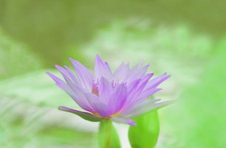 monet: Suave centrado foto de un lirio de agua azul - efecto impresionista Monet Foto de archivo