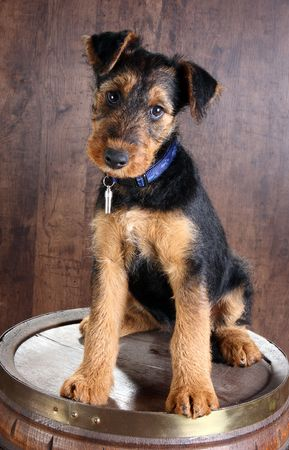 8 weeks old little airedale terrier puppy dog on a beer barrel Stock Photo