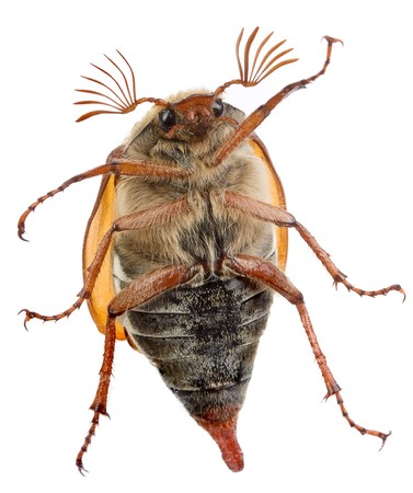 scavenging: Maybug beetle crawling on a glass pane