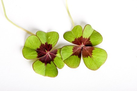 Two four leaf clovers means double fortune Stock Photo - 4086592