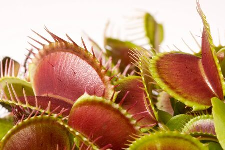Closeup image of a carnivorous droseraceae plant photo