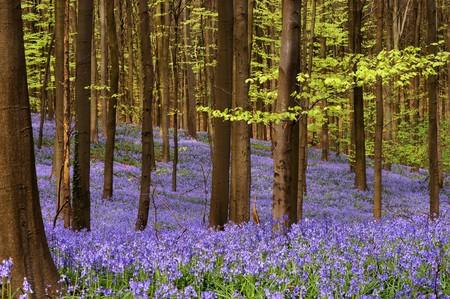 millions: Millions of wild hyacinth flowers in the Hallerbos woods in Belgium