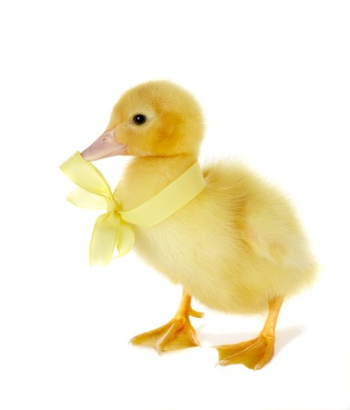 4 days old easter duckling with a small yellow bow photo