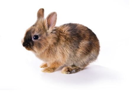 bunnie: Very young little brown rabbit against a white background Stock Photo