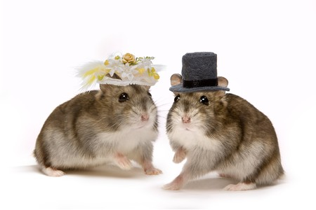 Two little hamsters wearing hats during their wedding ceremony photo