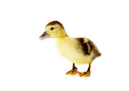 4 days old easter duckling with a cuus look on his face Stock Photo - 4086433