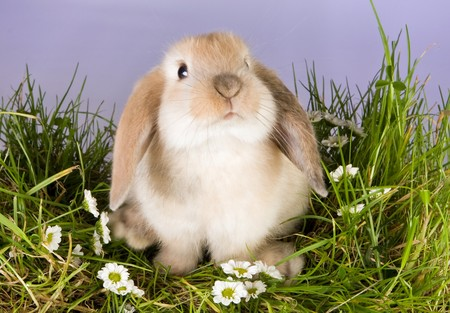 Very young lop rabbit on a patch of grass with daisies photo