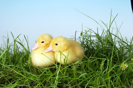 Two yellow easter ducklings talking to eachother in the garden photo