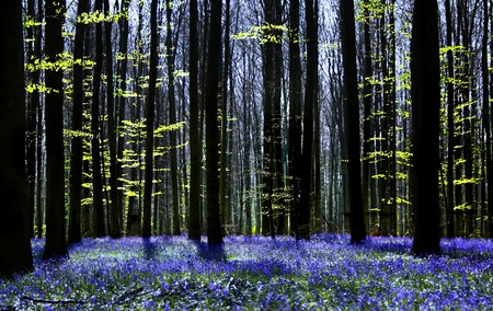 millions: Dark tree silhouettes and millions of bluebells