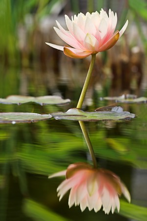 Reflected water lily Stock Photo - 4198706