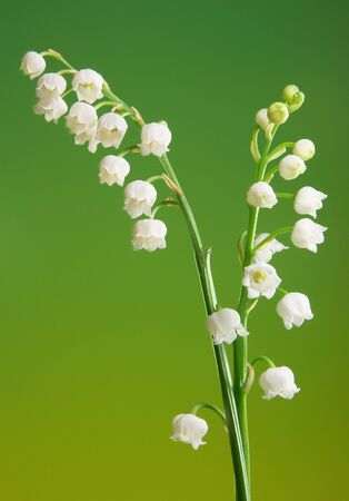 mayflower: Two fragile twigs of beautiful lily-of-the-valley flowers