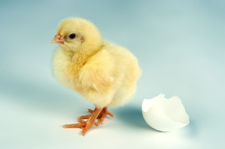 Little yellow easter chick walking away from an egg shell Stock Photo