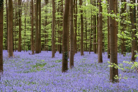Forest with millions of bluebells in springtime (hallerbos woods in Belgium)