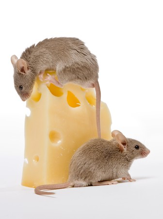 Two small gray mice and a big cheese photo