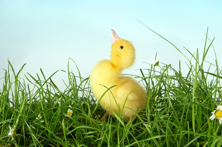 webb: 4 days old easter duckling looking up in a grass field