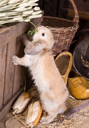 bunnie: Little curious easter rabbit finding food on a farm