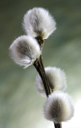 Close-up of a willow catkin twig in springtime photo