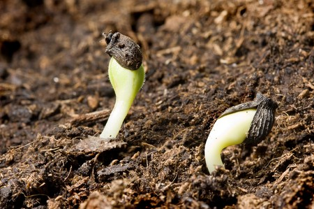 Shooting seeds in springtime sprouting from dark soil photo