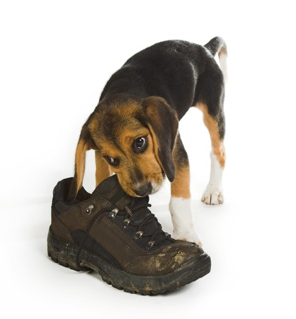 Beagly puppy dog chewing on a big walking boot