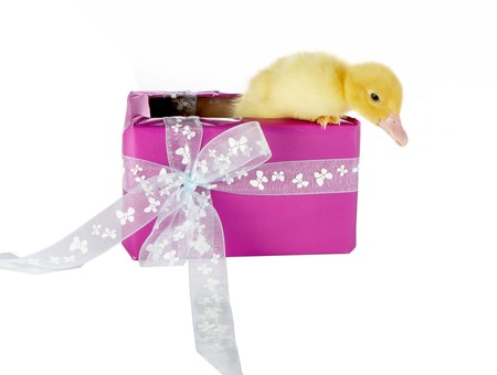 4 days old easter duckling coming out of a purple birthday gift Stock Photo - 4287410